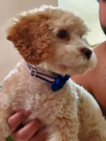 Cockapoo Puppies for sale in Whitehall, PA 17340, USA. price: NA