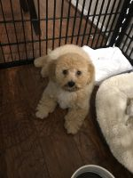 Cockapoo Puppies for sale in West Palm Beach, FL, USA. price: NA