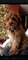 Cockapoo Puppies for sale in Effingham, IL 62401, USA. price: NA