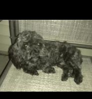 Cockapoo Puppies for sale in Clarksville, TN, USA. price: NA