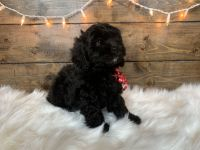Cockapoo Puppies for sale in Spartanburg, SC, USA. price: NA