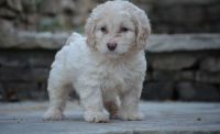 Cockapoo Puppies for sale in Lawrenceville, GA, USA. price: NA