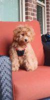 Cockapoo Puppies for sale in Atlanta, GA, USA. price: NA
