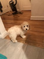 Cockapoo Puppies for sale in Eastchester, NY, USA. price: NA