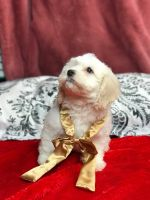 Cockapoo Puppies for sale in Galt, CA 95632, USA. price: NA