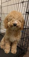 Cockapoo Puppies for sale in 7619 Boulevard E, North Bergen, NJ 07047, USA. price: NA