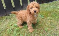 Cockapoo Puppies for sale in Fort Lauderdale, FL, USA. price: NA