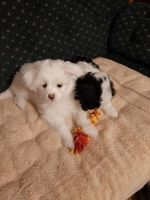 Cockapoo Puppies for sale in Silverton, OR 97381, USA. price: NA