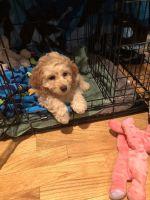 Cockapoo Puppies for sale in Flemington, NJ 08822, USA. price: NA