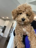 Cockapoo Puppies for sale in Nolensville, TN 37135, USA. price: NA