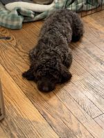 Cockapoo Puppies for sale in Portland, OR, USA. price: NA