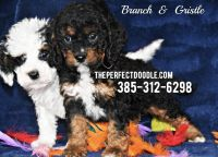 Cockapoo Puppies for sale in Orem, UT, USA. price: NA