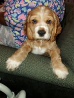 Cockapoo Puppies for sale in St. Louis, MO, USA. price: NA
