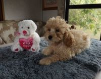 Cockapoo Puppies for sale in 201 S Buena Vista St, Burbank, CA 91505, USA. price: NA