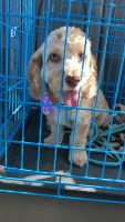 Cockapoo Puppies for sale in Burleson, TX, USA. price: NA