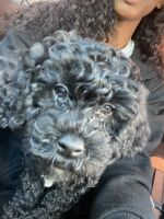 Cockapoo Puppies for sale in Charlotte, NC, USA. price: NA