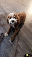 Cockapoo Puppies for sale in Chenal Pkwy, Little Rock, AR, USA. price: NA