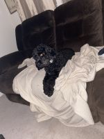 Cockapoo Puppies for sale in Summerville, SC, USA. price: NA