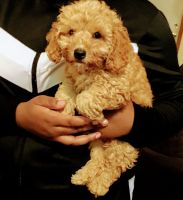 Cockapoo Puppies for sale in Tobyhanna, PA 18466, USA. price: NA