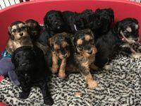 Cockapoo Puppies for sale in Texarkana, TX, USA. price: NA