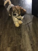 Cockapoo Puppies for sale in Greece, NY 14616, USA. price: NA