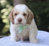 Cockapoo Puppies for sale in New Orleans, LA, USA. price: NA