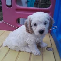 Cockapoo Puppies for sale in Denver, CO, USA. price: NA