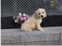 Cockapoo Puppies for sale in Pittsburgh, PA, USA. price: NA