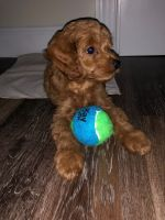 Cockapoo Puppies for sale in Albany, NY, USA. price: NA