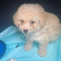 Cockapoo Puppies for sale in Orlando, FL, USA. price: NA