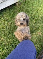 Cockapoo Puppies for sale in LaGrange, GA, USA. price: NA