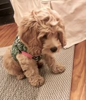 Cockapoo Puppies for sale in Lucedale, MS 39452, USA. price: NA