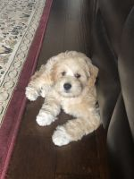 Cockapoo Puppies for sale in Sugar Land, TX 77498, USA. price: NA