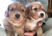 Cockapoo Puppies for sale in Baltimore, MD, USA. price: NA