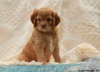 Cockapoo Puppies for sale in Los Angeles, CA 90019, USA. price: NA