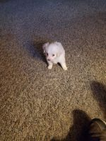 Cockapoo Puppies for sale in Perris, CA, USA. price: NA