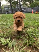 Cockapoo Puppies for sale in Lanham, MD 20706, USA. price: NA