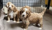 Cockapoo Puppies for sale in North Hollywood, Los Angeles, CA, USA. price: NA