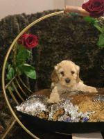 Cockapoo Puppies for sale in San Bernardino, CA, USA. price: NA