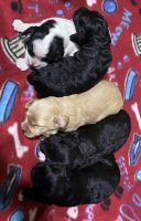 Cockapoo Puppies for sale in Malakoff, TX, USA. price: NA