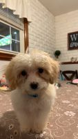 Cockapoo Puppies for sale in Covington, KY 41018, USA. price: NA
