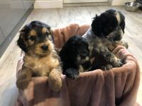Cockapoo Puppies for sale in Las Vegas, NV, USA. price: NA