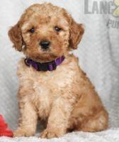 Cockapoo Puppies for sale in Upper Marlboro, MD 20772, USA. price: NA
