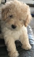 Cockapoo Puppies for sale in Covina, CA, USA. price: NA