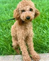 Cockapoo Puppies for sale in Columbia, MD, USA. price: NA