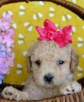 Cockapoo Puppies for sale in Matawan, NJ 07747, USA. price: NA