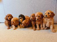 Cockapoo Puppies for sale in San Antonio, TX, USA. price: NA