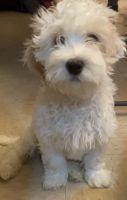 Cockapoo Puppies for sale in Wilmington, DE, USA. price: NA
