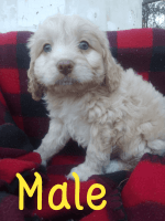 Cockapoo Puppies for sale in Longview, TX, USA. price: NA