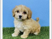 Cockapoo Puppies for sale in Seattle, WA, USA. price: NA